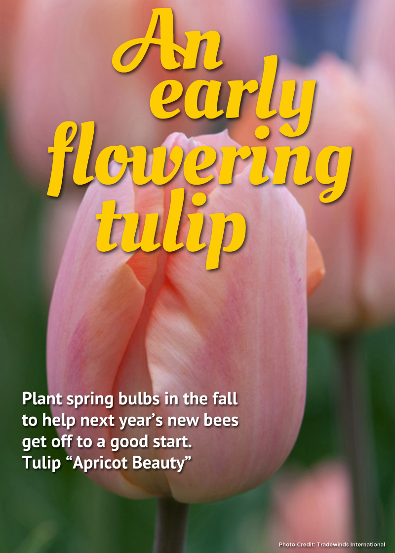 An Early Tulip